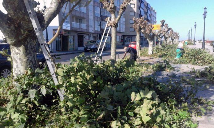 Podan los árboles en Baiona