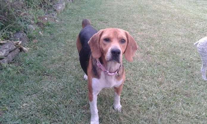 Esta perra llamada Tina desapareció en Belesar, en Baiona