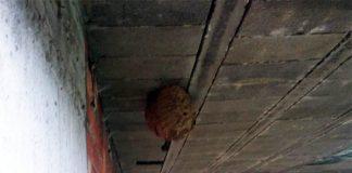 Nido de avispa asiática en Camposancos, A Guarda