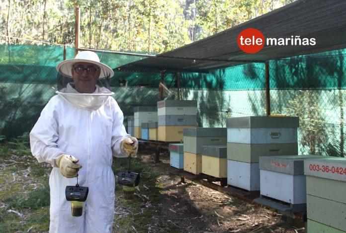 Aumenta la presencia de avispas asiáticas en O Val Miñor