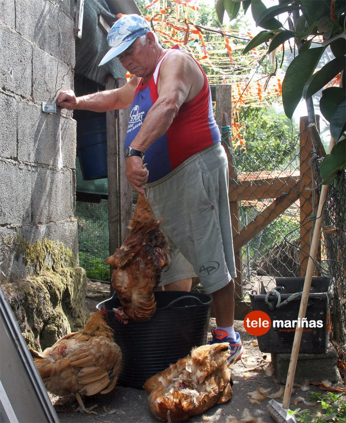Masacre de gallinas en As Mariñas
