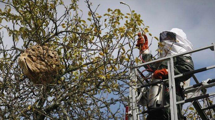 O Rosal retira casi 150 nidos de avispa velutina