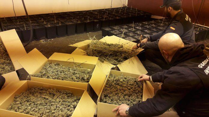Desmantelan un invernadero de marihuana en O Rosal que producía 800 plantas por cosecha