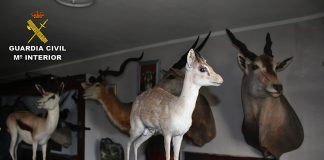 Incautan cerca de medio centenar de animales disecados en Tui