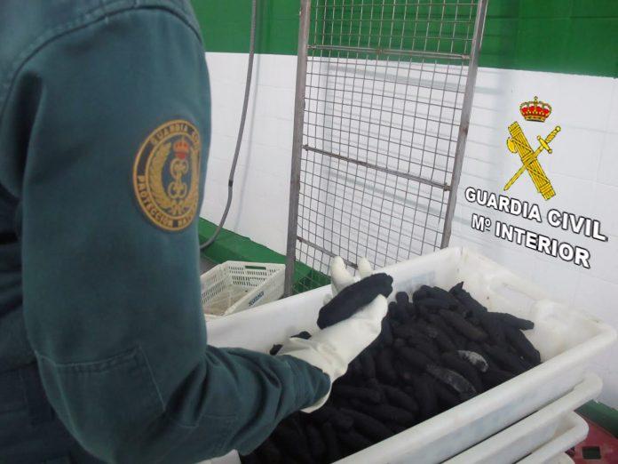 El Seprona se incauta de una tonelada de pepino de mar