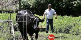 Paco, el buey de O Val Miñor