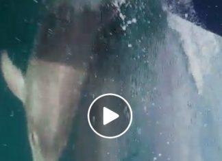 Una manada de delfines surca la Ría de Vigo