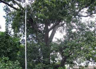 Nigrán retira nidos de avispa asiática con una pértiga de 25 metros