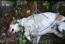 Buscan al dueño de un perro que apareció agonizando bajo unas piedras en Chan da Lagoa