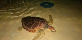El Instituto Galego de Formación en Acuicultura acoge a la tortuga Antares