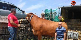 Uno de los bueyes de Parada, camino del matadero