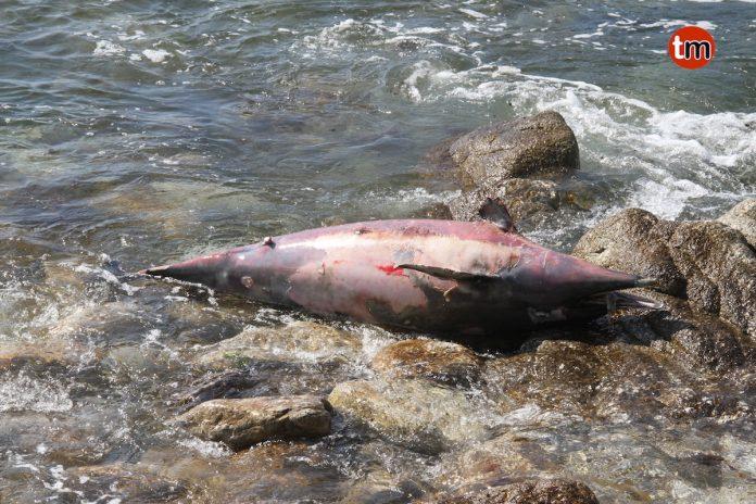 Hallados dos delfines varados en la costa de Viladesuso y Baredo