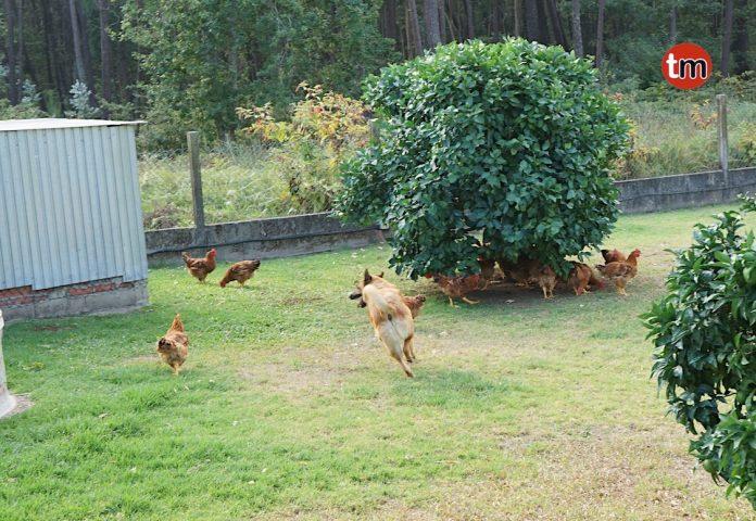 El perro que trae de calle a las gallinas en Tomiño