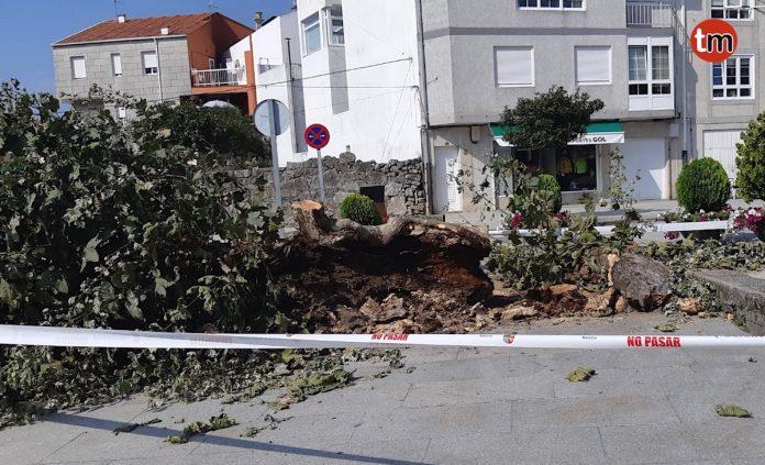 Talan un árbol que estaba ardiendo en Baiona