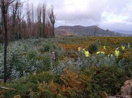 Unha trintena de voluntarios eliminaron miles de eucaliptos na Serra do Galiñeiro