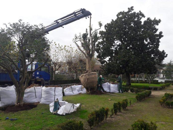Tui trasplanta dos camelios y un cactus por las obras de la calle Ourense
