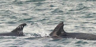 Mal ano para os arroaces das Rías Baixas