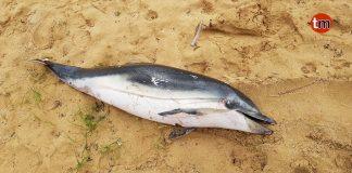 Hallado un delfín común varado en playa América