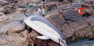 Aparecen dos delfines comunes en Baiona