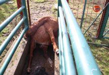"""Maltrato animal: Matan a golpes a cuatro """"bestas"""" en un monte de Oia"""