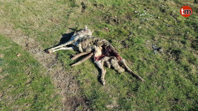 La Guardia Civil investiga la aparición de ovejas muertas en un monte de Baredo