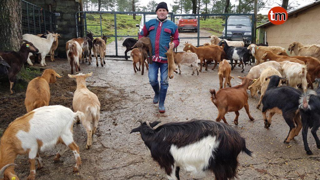 Un ganadero de Baiona pierde 50 cabras por ataques de perros