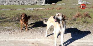 Identifican a dos perros como autores del ataque a la cabaña de cabras en Baiona