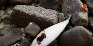 El visón comiendo el delfín varado en Mougás